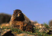 Yellow -bellied Marmot — Stock Photo