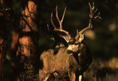 Mule Deer Buck in Pines — Stock Photo