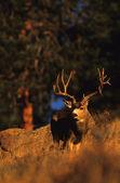 Trophy Mule Deer — Stock Photo