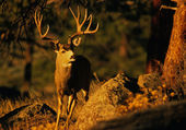 Trophy Mule Deer buck — Stock Photo
