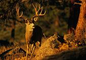Trophy Mule Deer buck — Stock Photo
