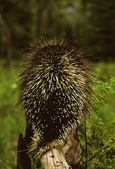 Porcupine — Stock Photo