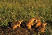 Prairie dogs — Stock Photo