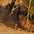 Male Bobwhite Quail Hiding — Stock Photo #5876658