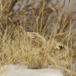 Cottontail Rabbit hiding in Tall Grass — Stock Photo