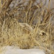 Cottontail Rabbit hiding in Tall Grass — Stock Photo #5877182