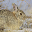 Cottontail Rabbit in Winter — Stock Photo #5877203