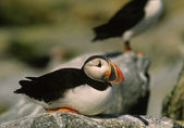 Atlantic Puffin Resting on Rock — Stock Photo