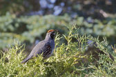 Male California Quail — Stock Photo