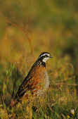 Male Bobwhite Quail — Stock Photo
