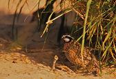 Male Bobwhite Quail Hiding — Stock Photo