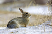Cottontail Rabbit in Winter — Stock Photo