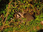 Agitated Raccoon — Stock Photo