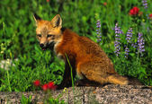 Red Fox Pup — Stockfoto