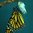 Monarch Butterfly — Foto Stock #5887035