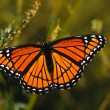 Monarch Butterfly — Foto Stock #5887051