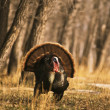 Wild Turkey Gobbler Strutting — Stock Photo