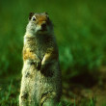 Alert Uinta Ground Squirrel — Stock Photo