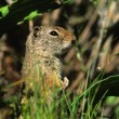 Alert Uinta Ground Squirrel — Stock Photo