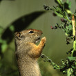 Uinta Ground Squirrel Eating — Stock Photo