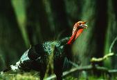 Wild Turkey Gobbler — Stock Photo