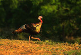 Wild Turkey Gobbler — Stock Photo