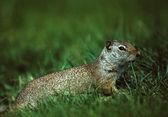 Uinta Ground Squirrel — Stock Photo