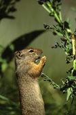 Uinta Ground Squirrel Eating — Stock Photo