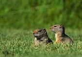 Uinta Ground Squirrels — Stock Photo