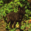 Wolf Pup — Stock Photo #5890195
