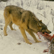 Wolf  Feeding on Deer Carcass — Stock Photo