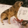 Wolf Defending it's Food in Winter — Stock Photo #5890314