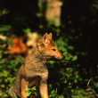Stock Photo: Wolf Pup at Den