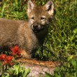 Wolf Pup in Flowers — Stock Photo #5890531
