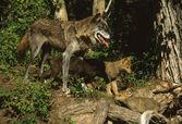 волк девушки с щенком — Стоковое фото