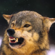 Wolf Snarling — Stock Photo #6179838