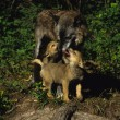 Cute Wolf Pups and Mother Interacting — Stock Photo