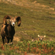 Bighorn Sheep Ram — Stock Photo