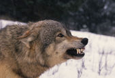 Wolf Snarling — Stock Photo