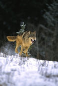 Wolf Running in Snow — Stock Photo