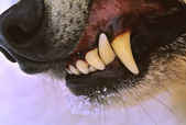Wolf Snarling Close Up — Stock Photo