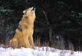 Wolf Howling in Winter — Stock Photo