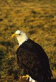 白頭ワシ — ストック写真