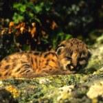 Mountain Lion Kitten — Stock Photo