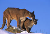 Mountain Lion female and Kitten — Stock Photo