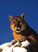 Mountain Lion Portrait — Stock Photo