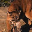 Mountain Lion Female Carrying Kitten — Stock Photo #6200014