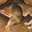 Coyote Pups in Den - Stock Photo
