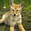 Coyote Pup — Stock Photo