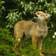 Coyote Pup Howling — Stock Photo #6205007